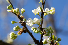 A tree in bloom, spring, fruit orchard, Royalty Free Stock Image