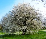 Tree in bloom in spring stock photography