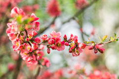 The tree bloomed red flower in early spring. Tree bloomed red flower in early spring stock images