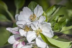 Tree is blooming. the apple tree is blooming. Spring. green Garden. inflorescence of apple. green leaves and flowers. white. royalty free stock image