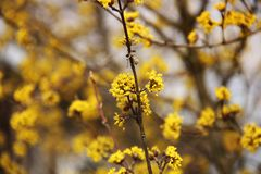 A tree is blooming. Dogwood stock images