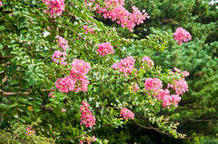 The tree blooming flowers Royalty Free Stock Images