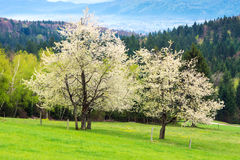 Tree Blooming Stock Photography