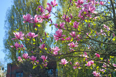 Tree blooming with pink flowers Stock Image