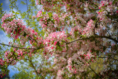Tree blooming with pink and white flowers stock images
