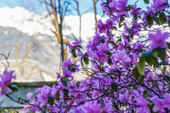 Tree blooming with purple flowers. On sunny day stock image