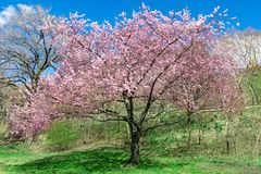 A tree blooms in beautiful pink among a green meadow with a flawless blue sky in the background, on a warm and sunny day royalty free stock images