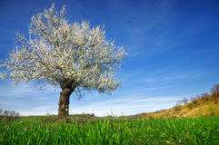 Tree blossom Royalty Free Stock Images
