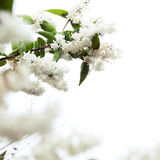 Tree Blossom Royalty Free Stock Image