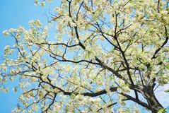 Tree blossom Royalty Free Stock Photography