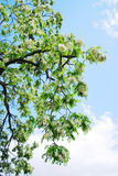 Tree blossom Royalty Free Stock Photos
