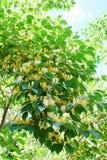Tree blossom Royalty Free Stock Photo