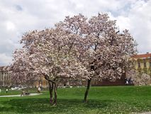 Tree in blossom Stock Photo