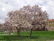Tree in blossom. Magnolia stock photo