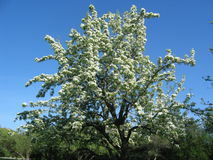 Tree in blossom. Apple tree Stock Image