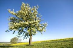 Tree in blossom Stock Photo