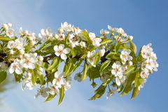 Tree blossom and blue sky Royalty Free Stock Images
