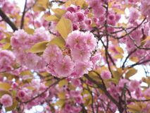 Tree blossom. Close-up image of rhododendron tree brunches in blossom, with pink flowers and leaves Stock Images