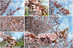 Tree in blossom in early spring; photo collage Stock Photo