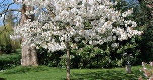 Tree, Blossom, Garden, Cherry Tree Royalty Free Stock Image