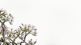 Tree blossom illustration Royalty Free Stock Photography