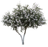 Tree with blossom isolated Royalty Free Stock Photo