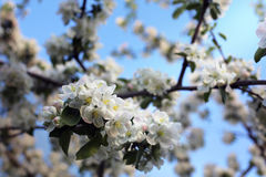 Tree blossom on the sky background, white flowers. Beautiful white blossoms of apricot on background of blue sky Royalty Free Stock Images
