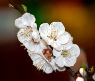 Tree blossom. In the spring Stock Images