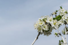 A tree blossom in spring with bees on the flowers Stock Photography