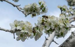 A tree blossom in spring with bees on the flowers Stock Photos