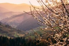 Tree blossom in the spring mountains. Beautiful warm evening light. Tree blossom in the spring picturesque mountains. Beautiful warm evening light royalty free stock photo
