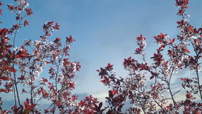 Tree Blossom at Sunset. Tree Blossom with Blue Sky and Clouds in Background stock video