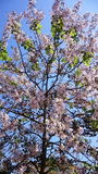Tree blossoming. Beautiful natural tree is pink flowering Royalty Free Stock Image