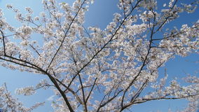 Tree of a blossoming cherry.  Blue sky. Branch of a blossoming cherry tree.  Wide shot, dolly in, slow motion. Bright blue sky, white flowers, peaceful stock video