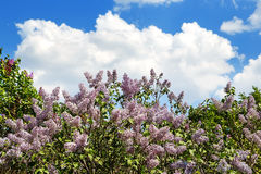 Tree blossoming lilac against the sky and clouds blur Royalty Free Stock Photography