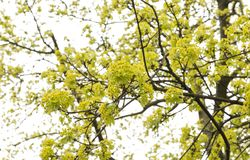 tree of blossoming maple royalty free stock image