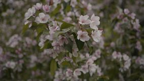 The tree is blossoming in the park. In spring stock video