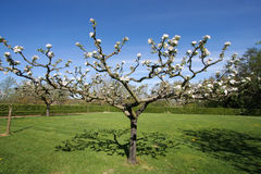 Tree blossoms. In the garden, in spring, in Gascony (southern of France stock image