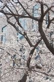 Tree blossoms in bloom during the Spring royalty free stock images