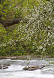 Tree Blossoms Dipping into river Royalty Free Stock Photo