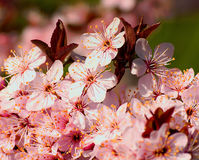 Tree blossoms Royalty Free Stock Image