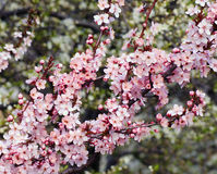 Tree blossoms Royalty Free Stock Images