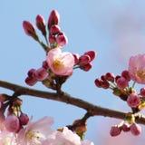 Tree blossoms Stock Photos