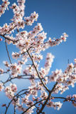 Tree blossoms. In Prague very good weather Royalty Free Stock Images
