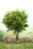 Tree blowing in breeze. A beautiful tree blowing in a breeze in a misty weather royalty free stock photos