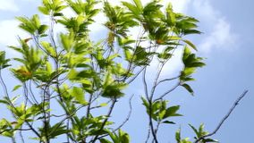 The tree blowing by the wind with a clouds moving on blue sky stock video footage