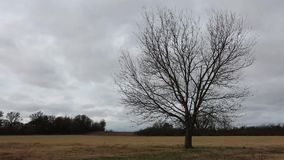 Tree in blowing wind. Leafless lonely tree blowing in a strong wind under an overcast sky. Nature or agricultural background stock footage