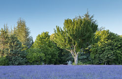 Tree in blue lavender under sky. In France Stock Image
