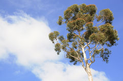Tree with blue sky Royalty Free Stock Photos