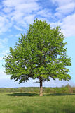 Green Tree on Blue Sky Stock Photography